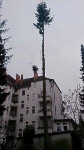 baumkletterer-berlin-baumpflege-baumfällung-3