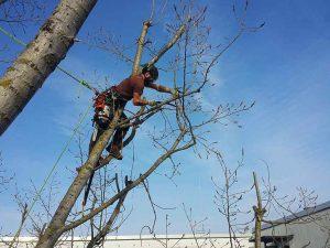 baumkletterer-berlin-kronenschnitt-baumpfleger-totholzschnitt-baumpflege-baumfallung-3